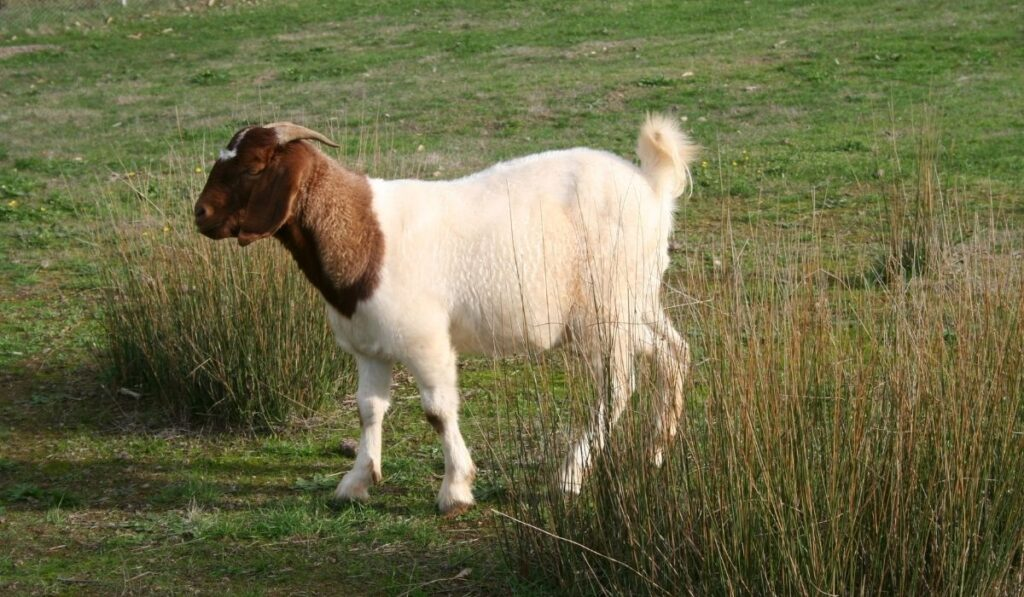 Goat-in-the-grass-field