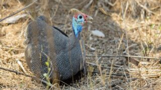 Guineas-Laying-Eggs