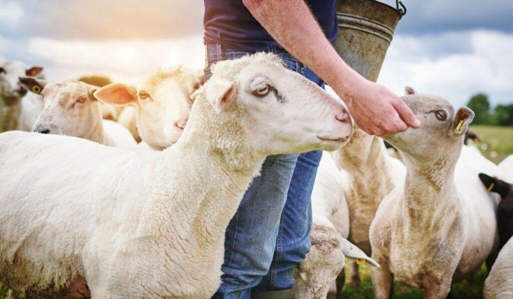 Happy Sheep Eating