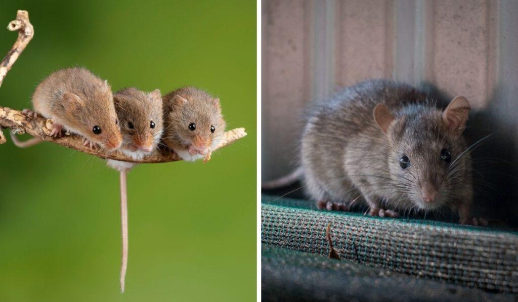 Mice and Rat