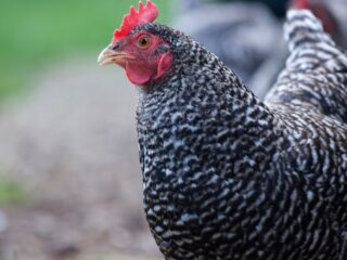 Plymouth Rock Chicken looking at something