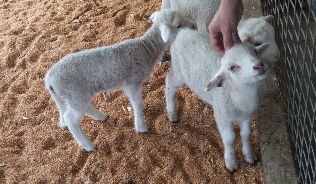 Sheep Expressing Affection