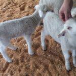 How Do Sheep Show Affection?
