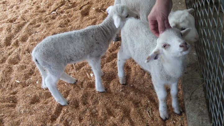 Sheep-Expressing-Affection