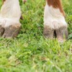 Do Cows Need Their Hooves Trimmed?