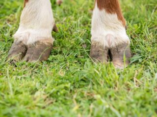 brown and white cow's hooves