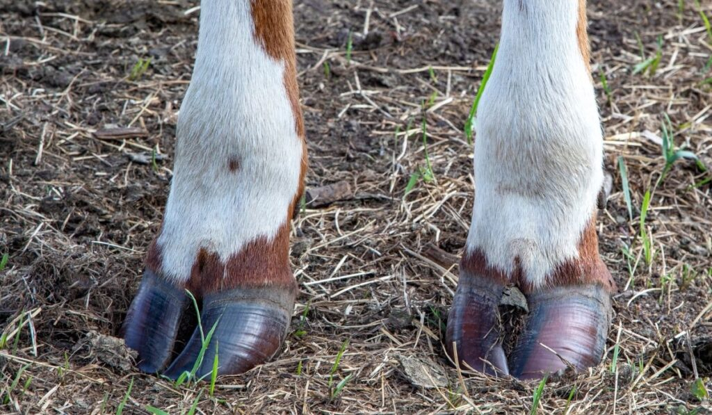 brown front hooves