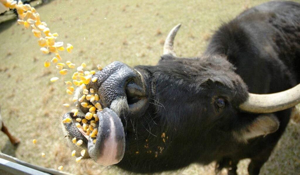 cow being given corn kernels