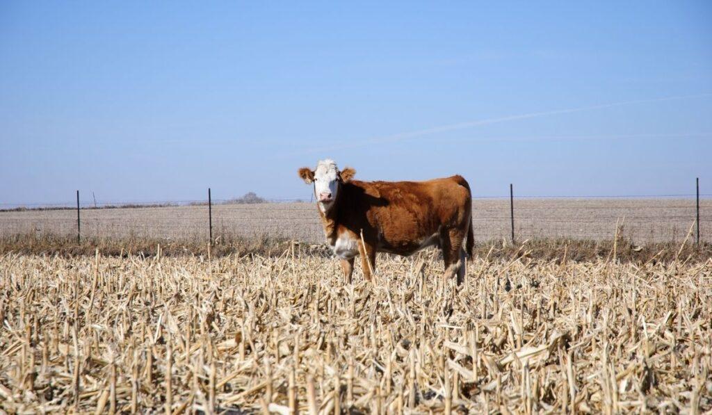 cow standing in a field of corn stalks