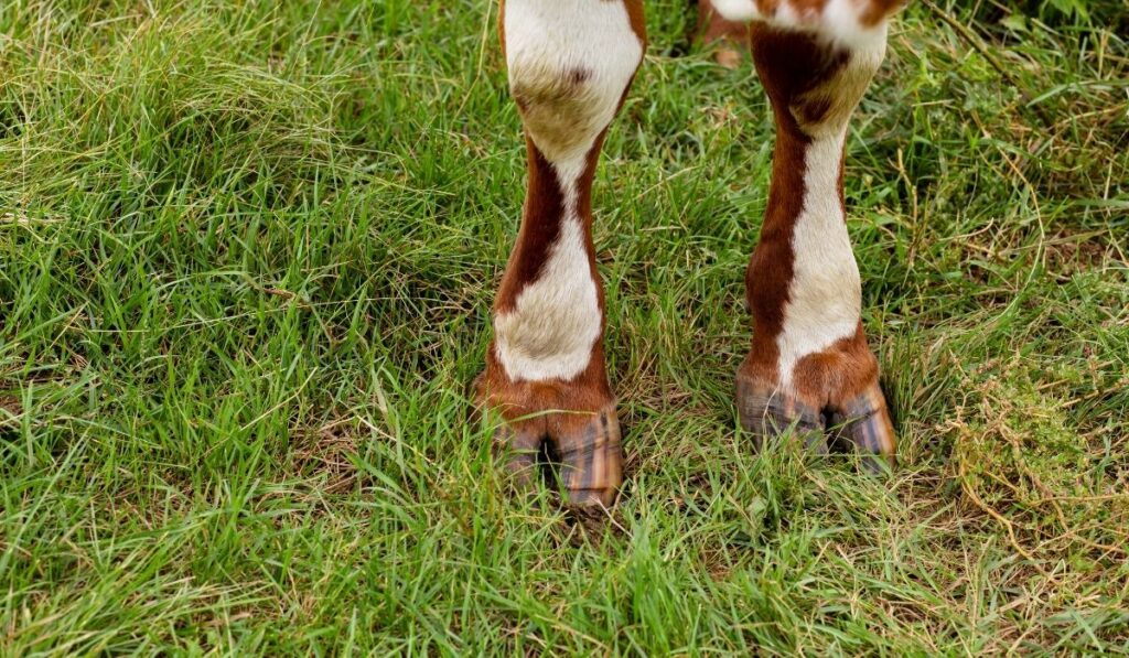 cow's hooves in the grass