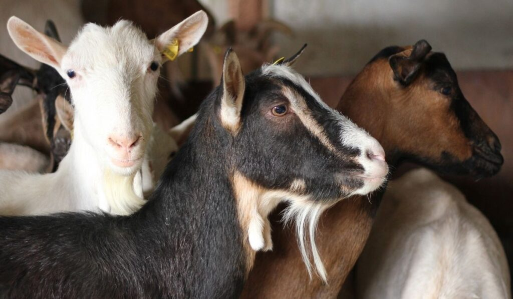 different goats in a farm