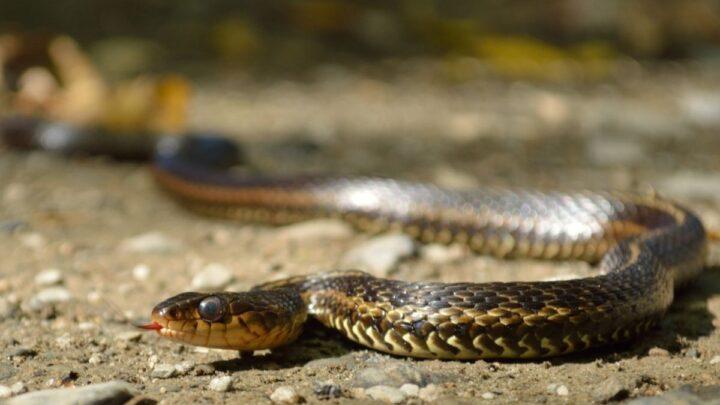 garter snake on a open ground