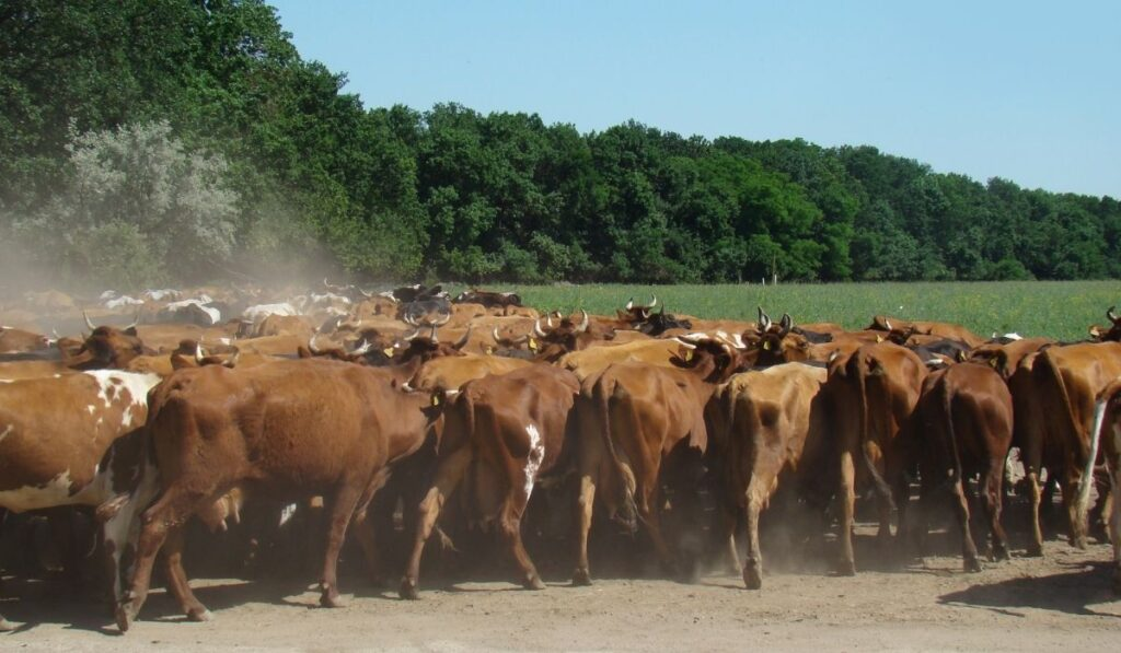 herd of cows in the farm