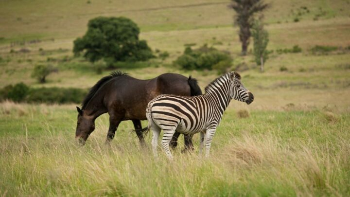 horse and zebra in the greenfields