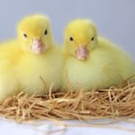 When Can Ducklings Move Outside?