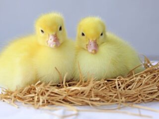 indoor close up photo of two ducklings