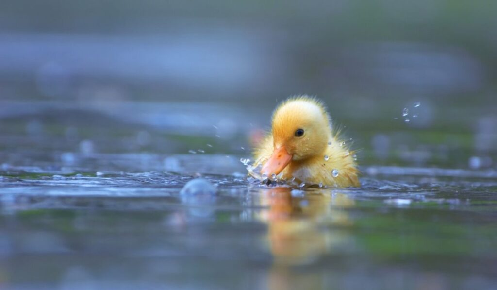 little yellow duckling swimming