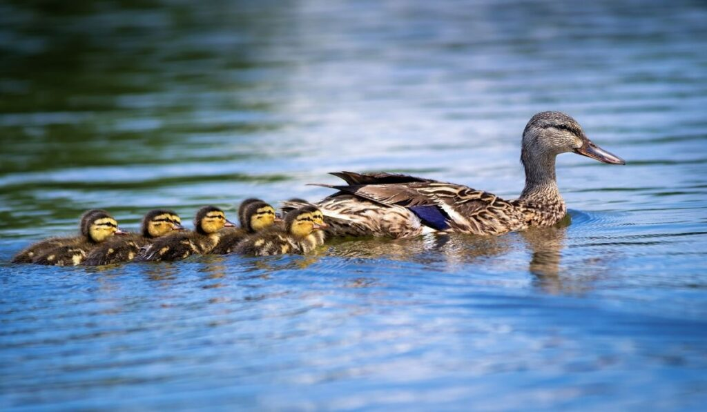 mother duck and her ducklings swimming in lake
