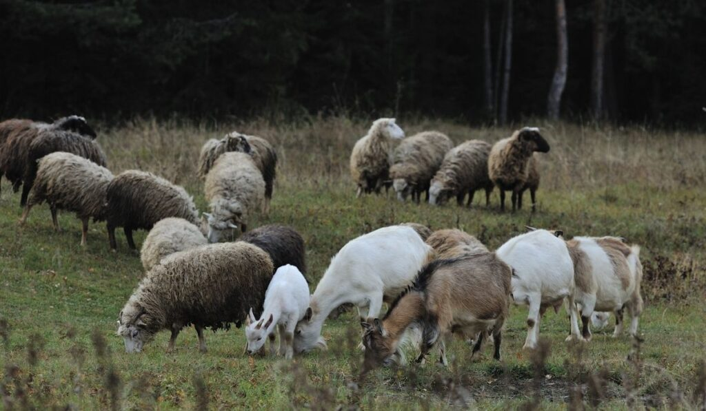 sheeps and goats eating grass in a filed