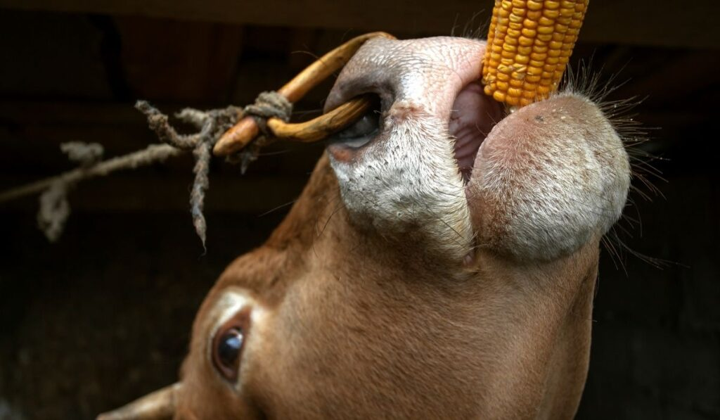tied cow eating corn cobs