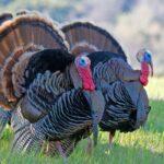 Do Turkeys Eat Mice and Rats?