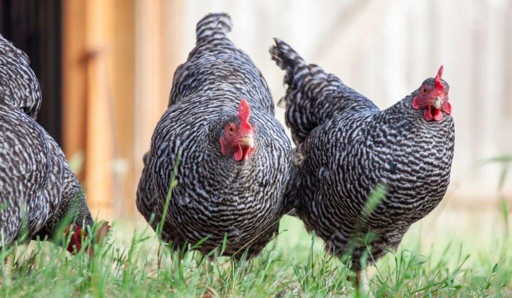 Blue Plymouth Rock Chicken