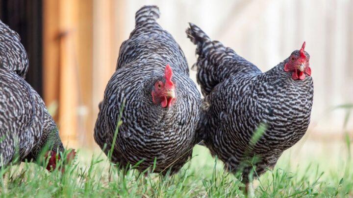 Blue-Plymouth-Rock-Chicken