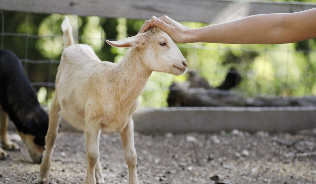 Goat Want to be Petted