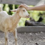 9 Signs Your Goat Is Happy