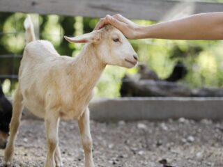 Goat-Want-to-be-Petted