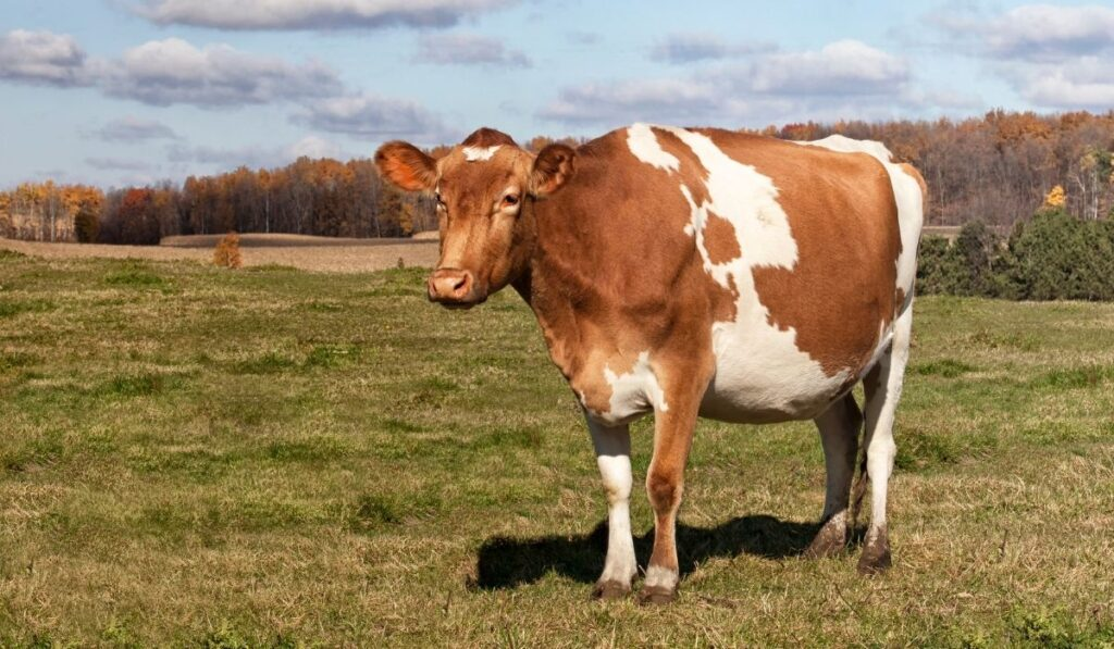 Guernsey Cow in a field