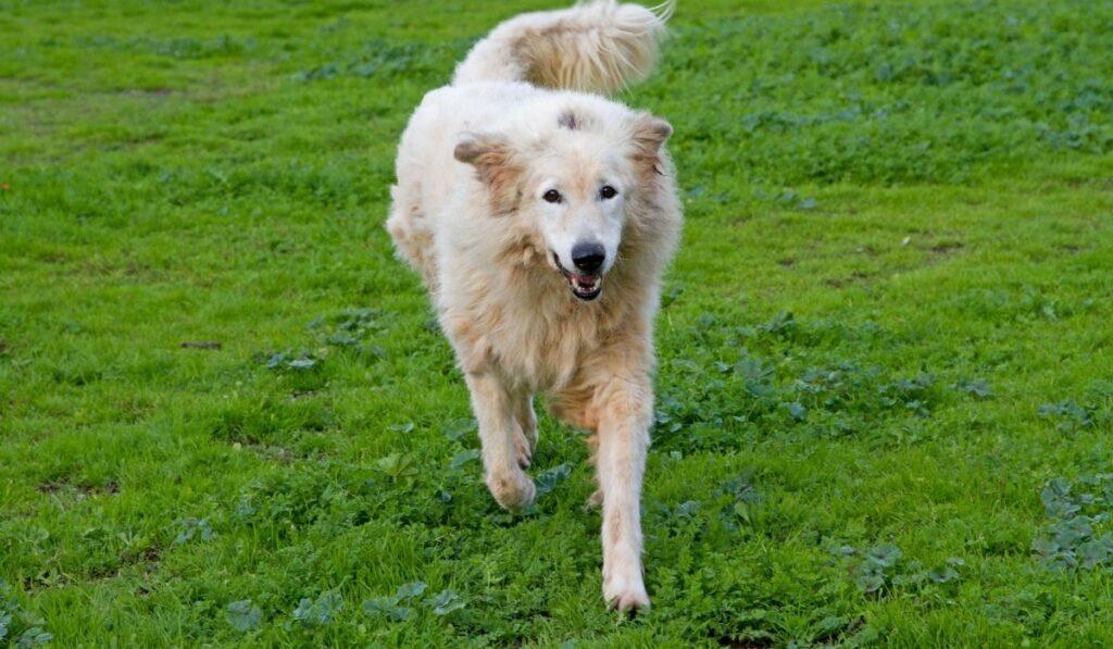 Maremma Sheepdog running in the garden