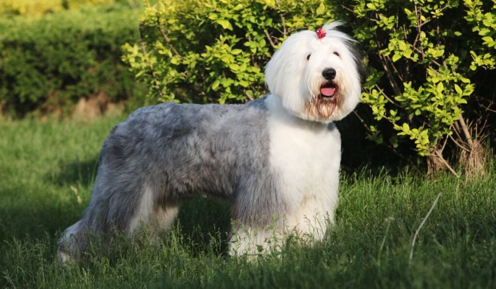 Old English Sheepdog in outdoor