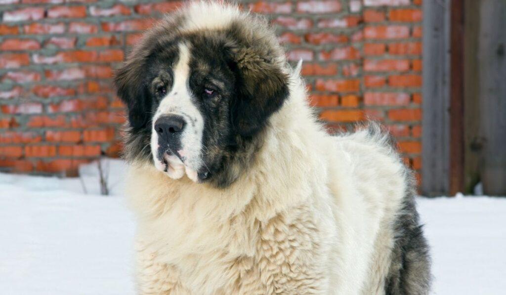 Pyrenean Mastiff in the snow