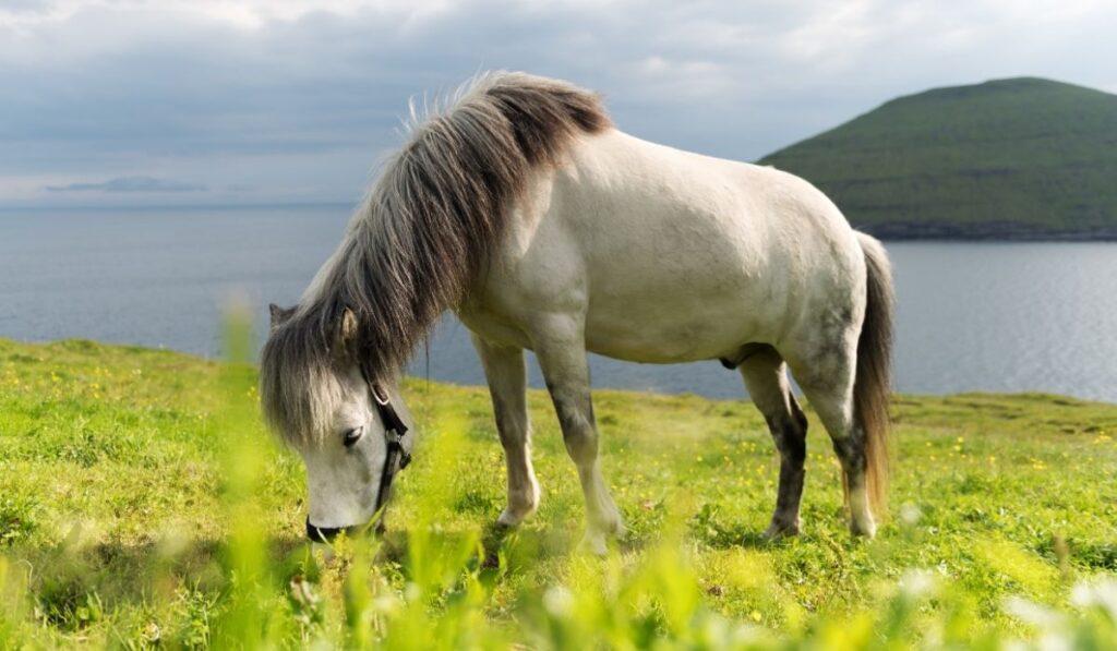 The Faroese Horse