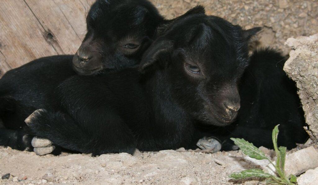 baby goats sleeping with eyes open