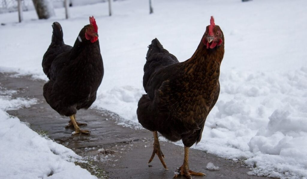 chickens walking on the road with snow