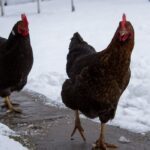 11 Tips for Preventing and Treating Frostbite in Chickens