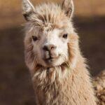 Can a Llama Kill a Wolf?