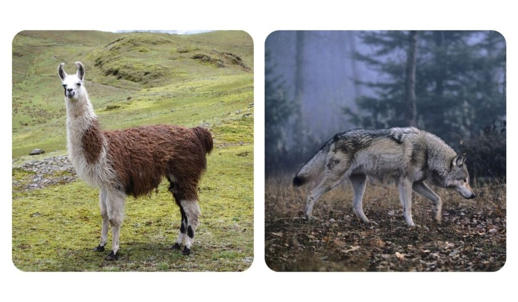 collage of a photo of llama and wolf