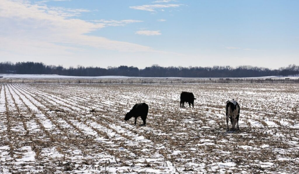 cows in a field with snow