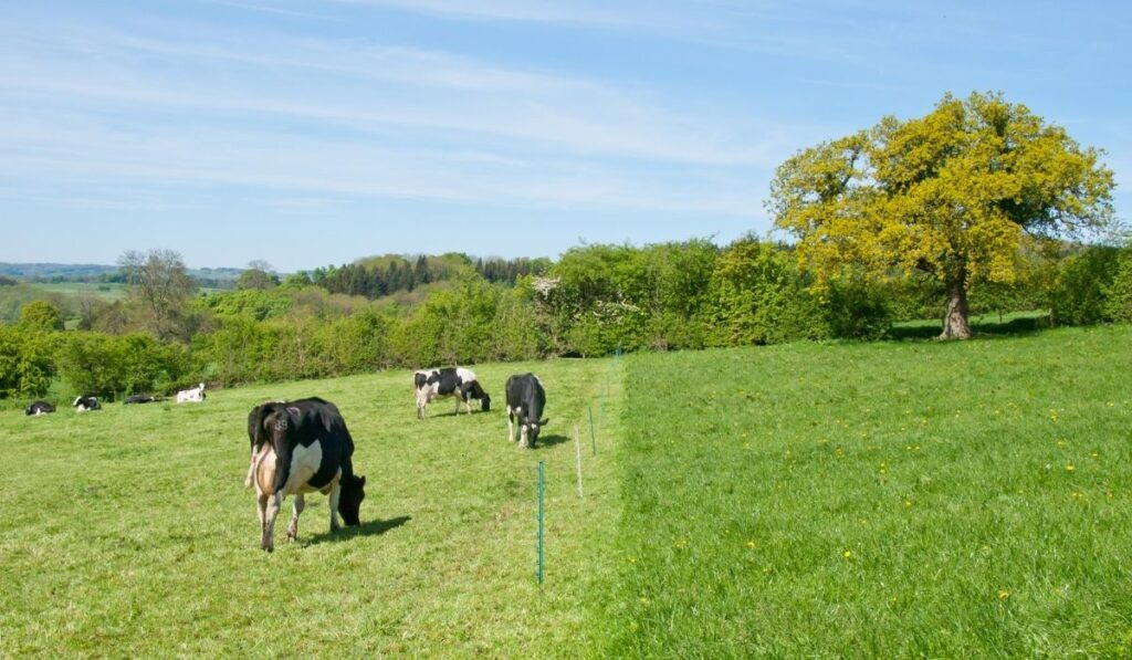 cows in the field with an electric fence