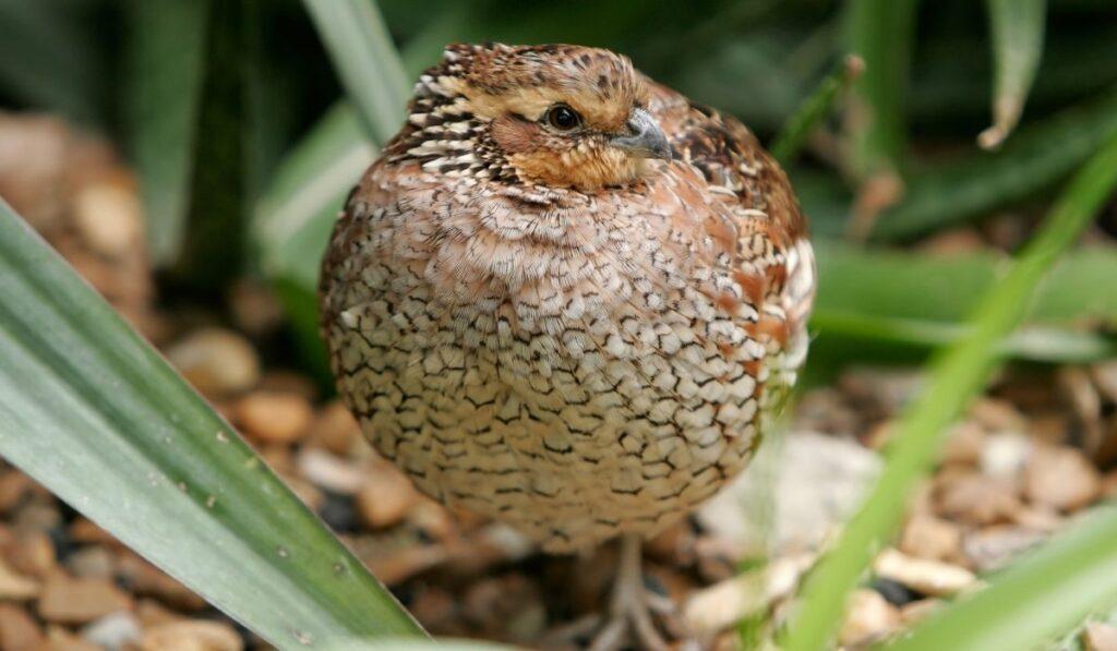 cute chubby quail in the bush