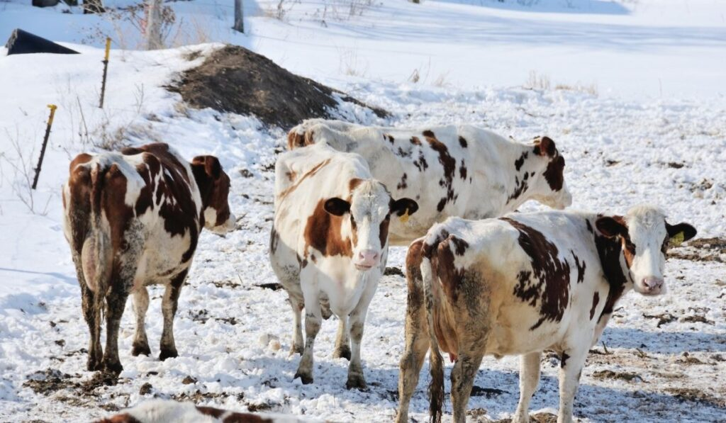 dairy cows in the winter pasture