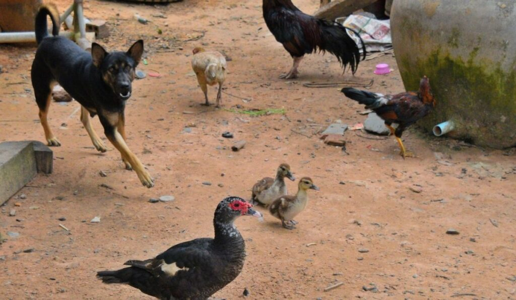 dog planning to attack the chickens
