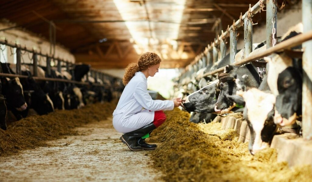 girl feeding cows in the barn
