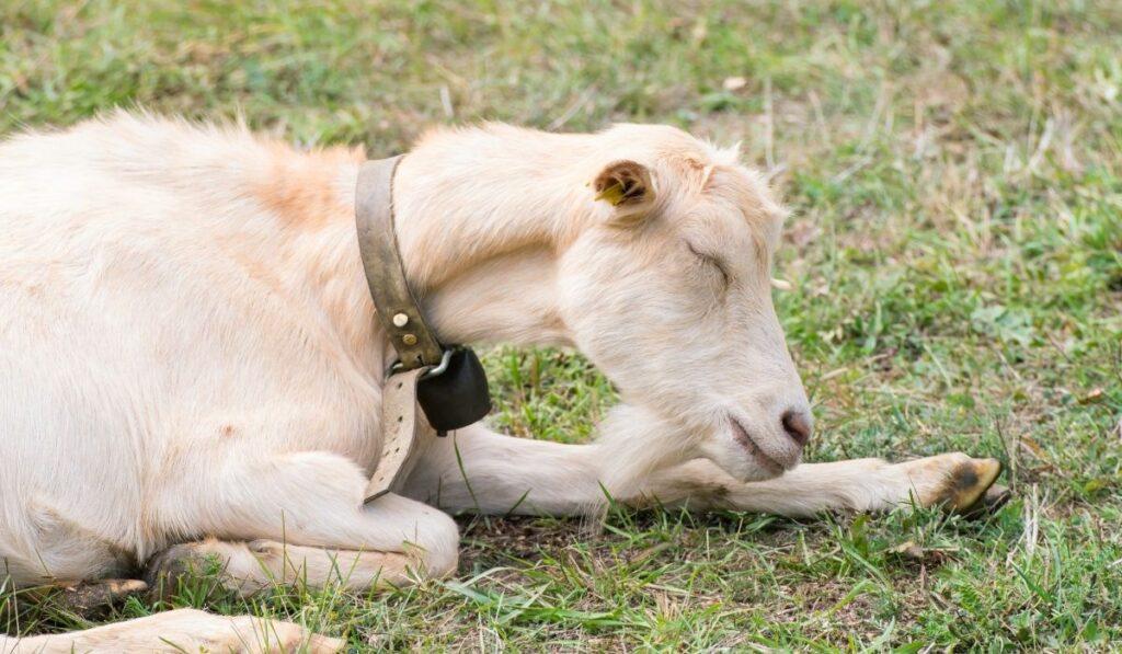 goat sleeping