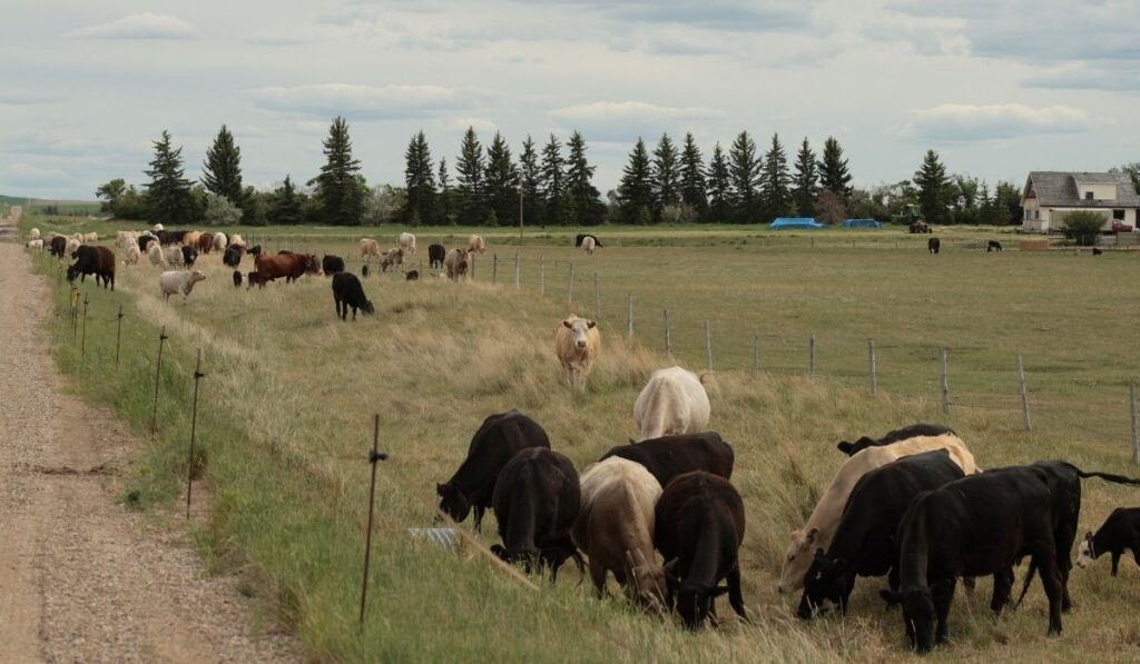 group of cattle behind an electric fence