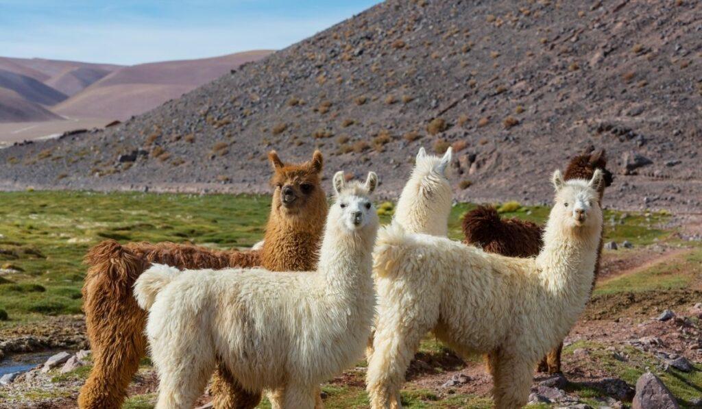 group of llama outdoors