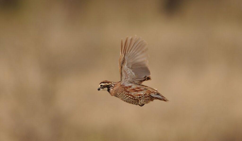 quail flying